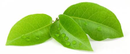Bay leaves, Tree Shrubs and Plants Image